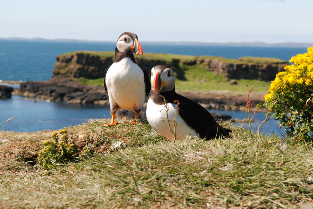 Puffins on the Treshnish Isles